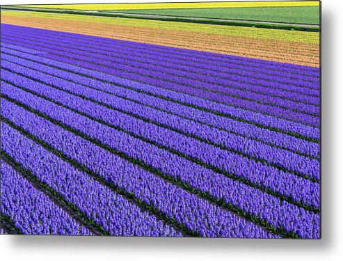 Tranquility Metal Print featuring the photograph Flower Fields In Spring In Holland by Frans Sellies