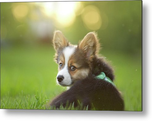 Pets Metal Print featuring the photograph Fluffy Corgi Puppy Looks Back by Holly Hildreth