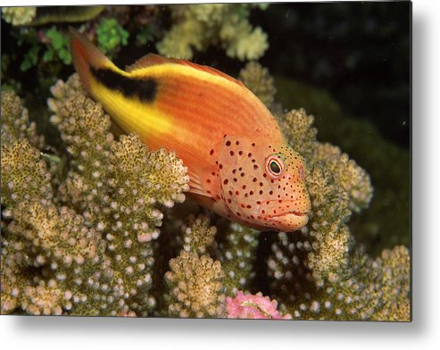 Underwater Metal Print featuring the photograph Freckled Hawkfish Perches On Stony by Comstock
