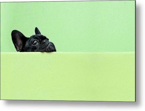 Pets Metal Print featuring the photograph French Bulldog Puppy by Retales Botijero