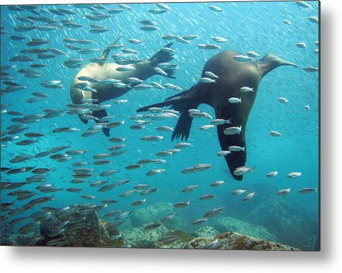 Underwater Metal Print featuring the photograph Galapagos Sea Lion by Bettina Lichtenberg