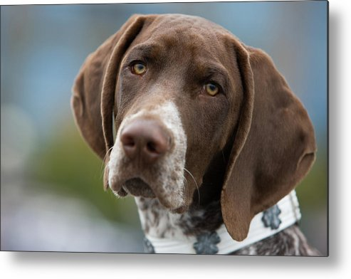 Pets Metal Print featuring the photograph German Shorthair Pointer With Building by Markhatfield