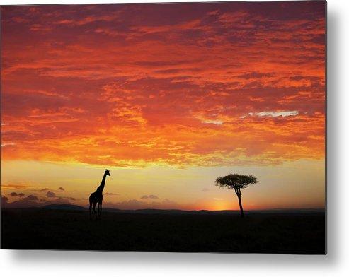 Kenya Metal Print featuring the photograph Giraffe And Acacia Tree At Sunset by Buena Vista Images