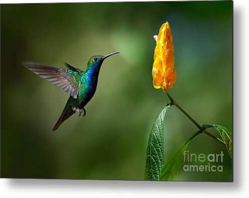 Small Metal Print featuring the photograph Green And Blue Hummingbird by Ondrej Prosicky