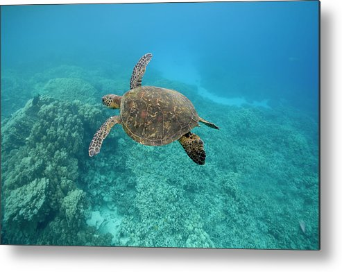 Underwater Metal Print featuring the photograph Green Sea Turtle, Big Island, Hawaii by Paul Souders