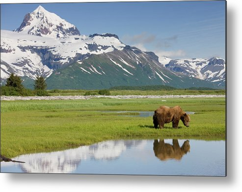 Brown Bear Metal Print featuring the photograph Grizzly Bear, Katmai National Park by Paul Souders