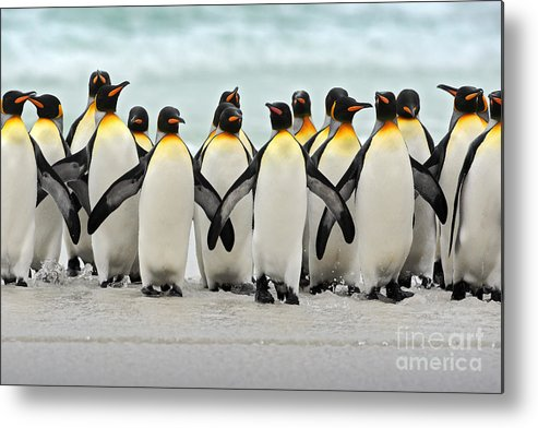 Harmony Metal Print featuring the photograph Group Of King Penguins Coming Back by Ondrej Prosicky