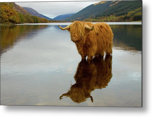 Horned Metal Print featuring the photograph Highland Cow by Empato