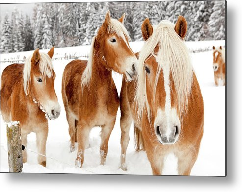 Horse Metal Print featuring the photograph Horses In White Winter Landscape by Angiephotos