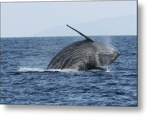 Animal Metal Print featuring the photograph Humpback Whale Breach 2 Of 3 by Adwalsh