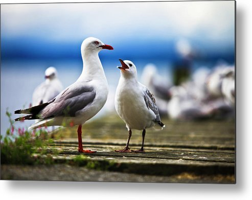 Animal Themes Metal Print featuring the photograph Hungry Gull by Ignacio Hennigs