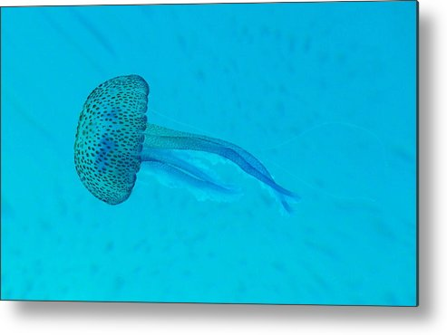 Underwater Metal Print featuring the photograph Jellyfish In Wild by Sir Francis Canker Photography