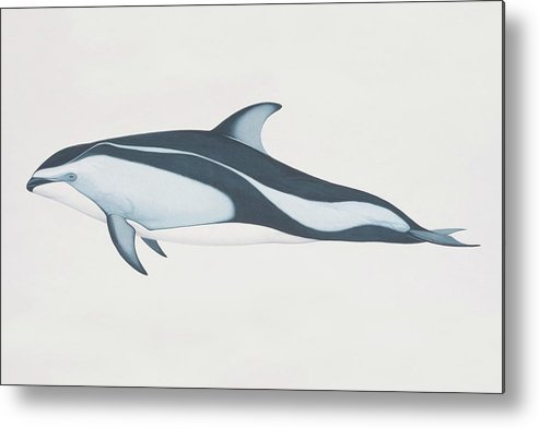 White Background Metal Print featuring the digital art Lagenorhynchus Obliquidens, Pacific by Martin Camm