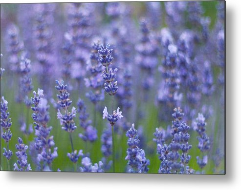 Otago Region Metal Print featuring the photograph Lavender Flowers by Jill Ferry