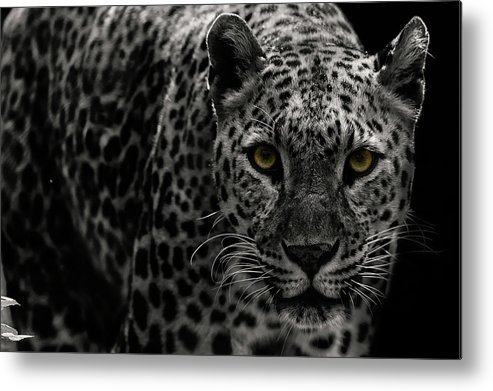 Big Cat Metal Print featuring the photograph Leopard by Somak Pal