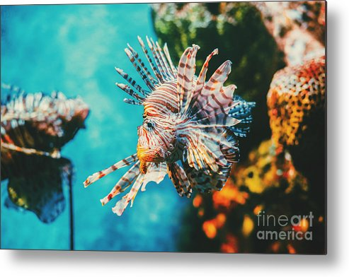 Deep Metal Print featuring the photograph Lion Fish Hunting Among Coral Reefs by Nine tomorrows