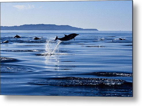 Latin America Metal Print featuring the photograph Long-nosed Common Dolphin,delphinus by Gerard Soury