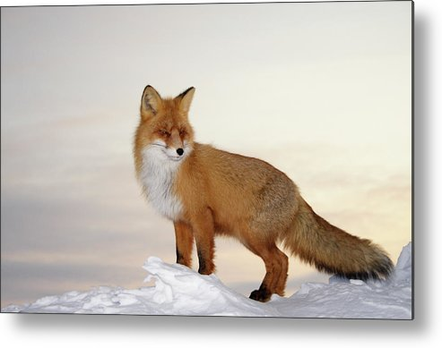 Black Color Metal Print featuring the photograph Majestic Fox by Dmitrynd