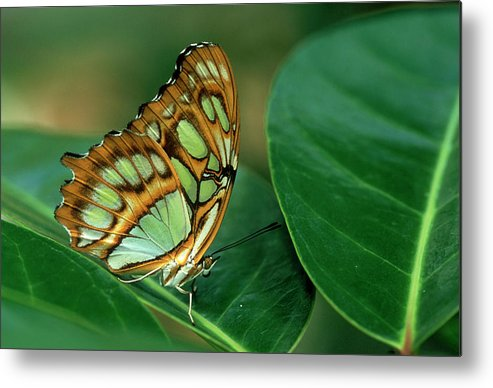 Nymphalidae Metal Print featuring the photograph Malachite Butterfly, Siproeta Stelenes by Adam Jones
