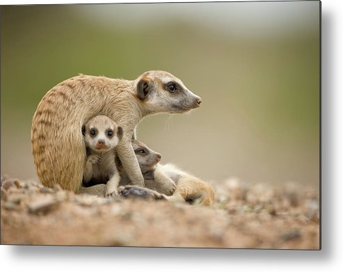 Care Metal Print featuring the photograph Meerkat Pups With Adult, Namibia by Paul Souders