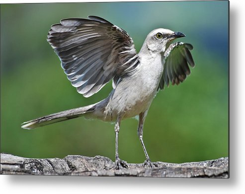 Animal Themes Metal Print featuring the photograph Mimus Gilvus by Photo By Priscilla Burcher