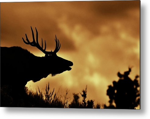 Animal Themes Metal Print featuring the photograph Moose At Sunrise by Photo By James Keith