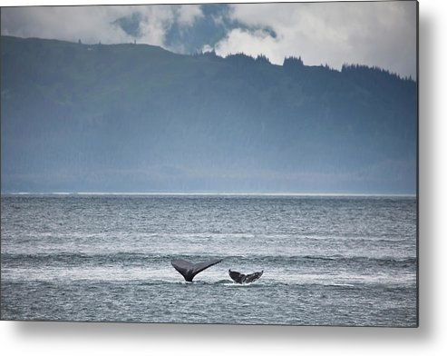 Water's Edge Metal Print featuring the photograph Mother And Calf Whale Tails Megaptera by Blake Kent / Design Pics