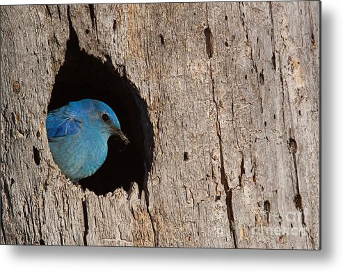 Mountains Metal Print featuring the photograph Mountain Bluebird Sialia Currucoides by Tom Reichner