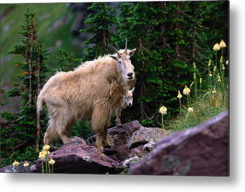 Animal Themes Metal Print featuring the photograph Mountain Goat Oreamnos Americanus by Art Wolfe