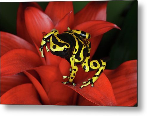 Animal Themes Metal Print featuring the photograph Orange Banded Dart Frog Dendrobates by Adam Jones