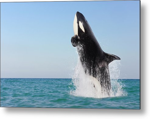 Three Quarter Length Metal Print featuring the photograph Orca Jumping Out Of Water by Martin Ruegner