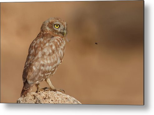 Owl Metal Print featuring the photograph Owl Vs Bee by Assaf Gavra