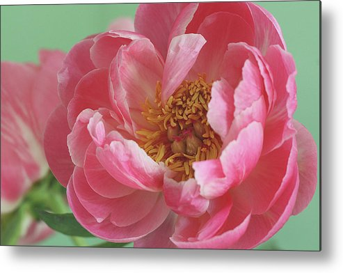 California Metal Print featuring the photograph Peony by © 2011 Staci Kennelly