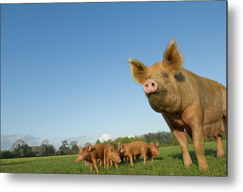 Pig Metal Print featuring the photograph Pig In Field by Henry Arden