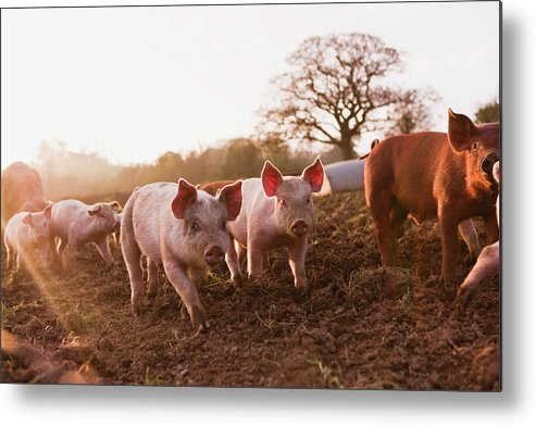 Pig Metal Print featuring the photograph Piglets In Barnyard by Jupiterimages