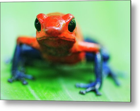 Animal Themes Metal Print featuring the photograph Poison Dart Frog by Jeremy Woodhouse