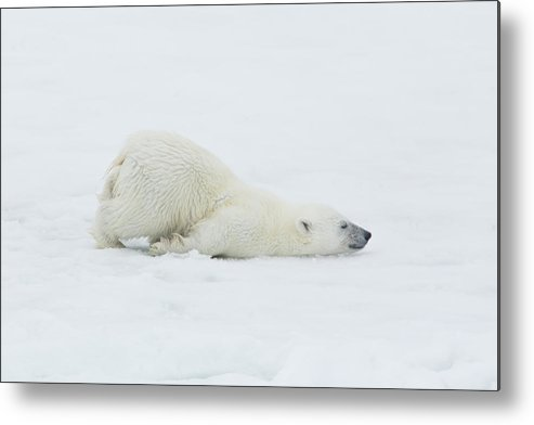 Svalbard Islands Metal Print featuring the photograph Polar Bear Cub Stretching Out On Ice by Darrell Gulin