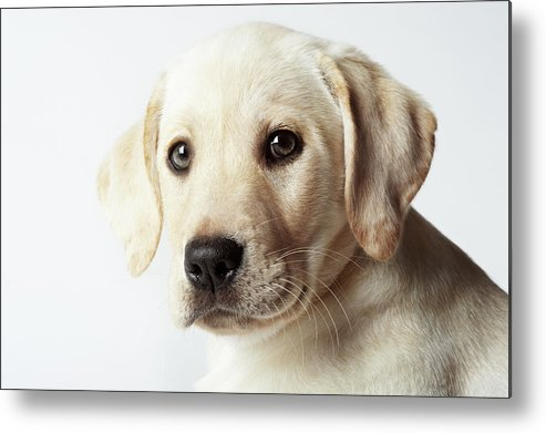 White Background Metal Print featuring the photograph Portrait Of Blond Labrador Retriever by Uwe Krejci