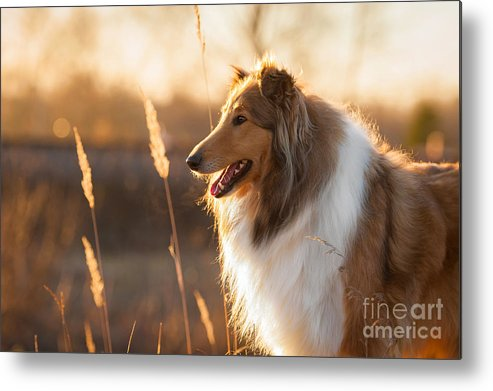 Haired Metal Print featuring the photograph Portrait Of Rough Collie At Sunset by Grigorita Ko