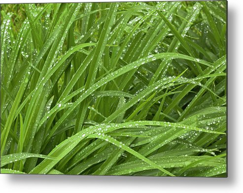 Tranquility Metal Print featuring the photograph Raindrops Of Daylily Foliage by Adam Jones