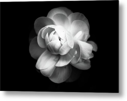 Black Background Metal Print featuring the photograph Ranunculus Flower by Annfrau