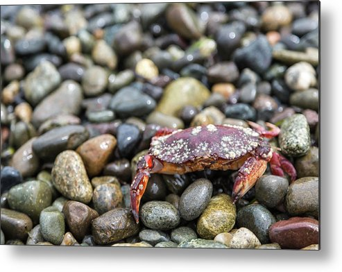 Water's Edge Metal Print featuring the photograph Red Rock Crab On A Pebble Covered Beach by Stevedf