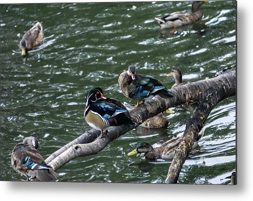 Duck Metal Print featuring the photograph Resting Ducks by Rob Olivo