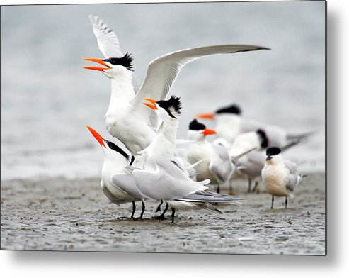 Animal Themes Metal Print featuring the photograph Royal Tern Sterna Maxima Courtship by Danita Delimont