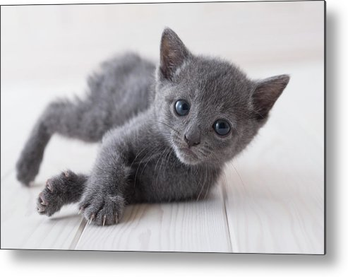 Pets Metal Print featuring the photograph Russian Blue Lying Down On Floor by Mixa