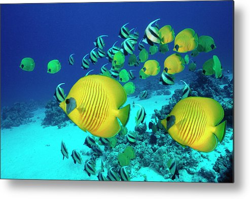 Underwater Metal Print featuring the photograph School Of Butterfly Fish Swimming On by Georgette Douwma