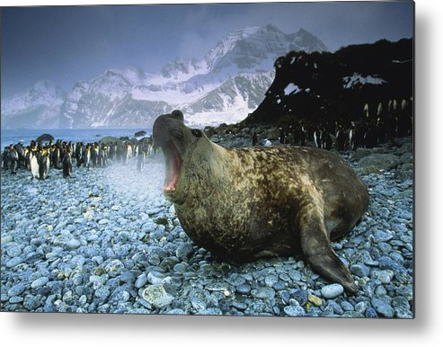 Snow Metal Print featuring the photograph Southern Elephant Seal Mirounga Leonina by Art Wolfe