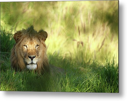 Tropical Rainforest Metal Print featuring the photograph Staring Lion In Field Of Grass With by Jimkruger