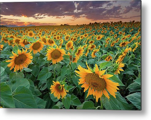 Outdoors Metal Print featuring the photograph Sunflower Field In Longmont, Colorado by Lightvision