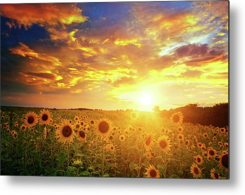 Scenics Metal Print featuring the photograph Sunflowers Field And Sunset Sky by Avalon studio